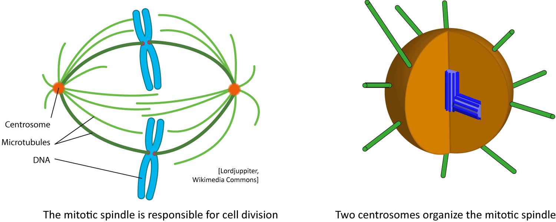 centrosome diagram