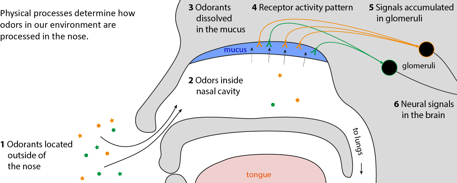 Schematic of olfaction