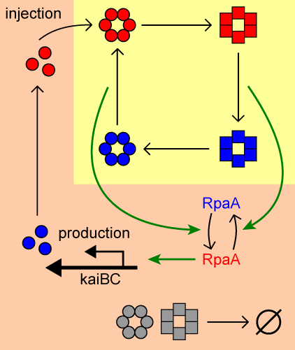 Schematic picture of the core biochemical network of the circadian clock of cyanobacteria